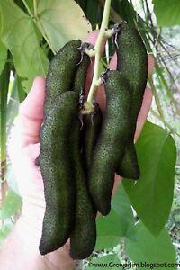 Velvet bean (Mucuna pruriens), itchless cultivar seeds