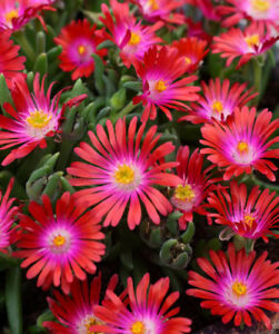 30-DELOSPERMA-CARMINE-RED-FLOWER-SEEDS-ICE-PLANT-HEAT-amp-COLD-HARDY-4-034-HIGH