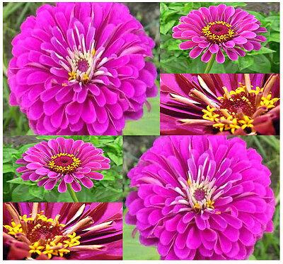 Zinnia Purple Prince Zinnia Flower Seeds Wine Purple Double Flowers  BUTTERFLIES