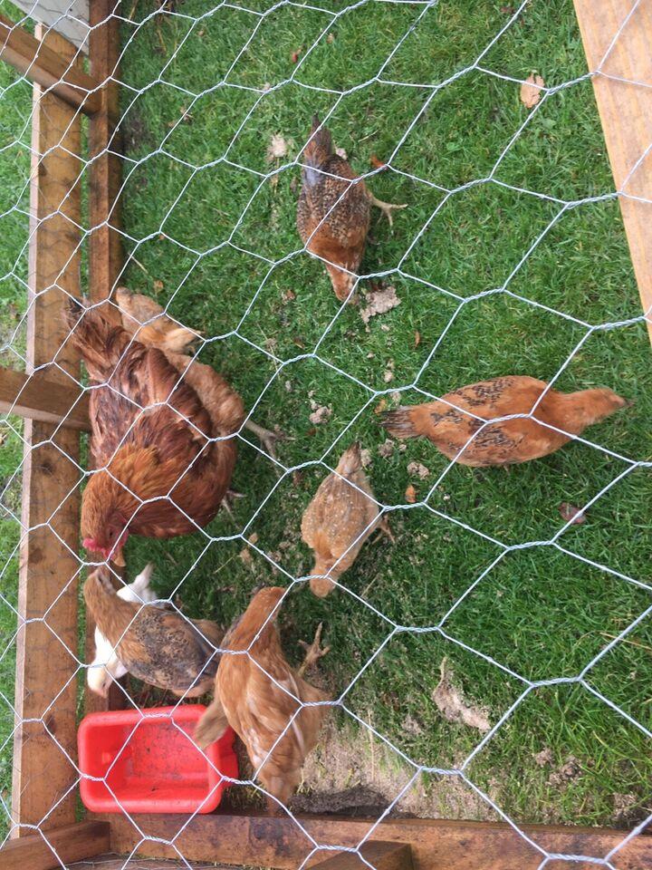 Kyllinger, 7 stk.