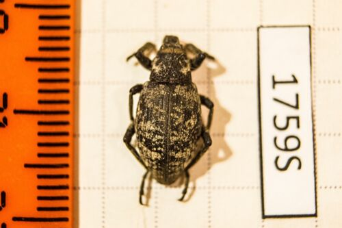 Coniocleonus sp.Curculionidae Russia Rebuplic of Buryatia !PRICE FOR EACH!