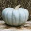 Seeds-Rare-Pumpkin-Queensland-Blue-Giant-Halloween-Vegetable-Organic-Ukraine thumbnail 11
