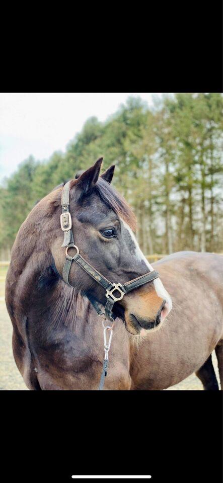 Welsh Cob, vallak, 12 år