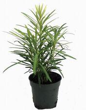 "Buddhist Pine Tree - Bonsai/Houseplant - Podocarpus - 4"" pot"