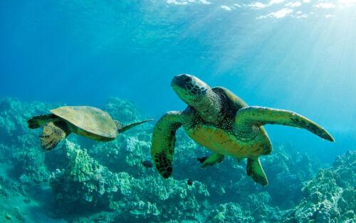 Encadrée Imprimer-rayures bleues Snapper tortues de mer à Hawaï (Photo Poster art)