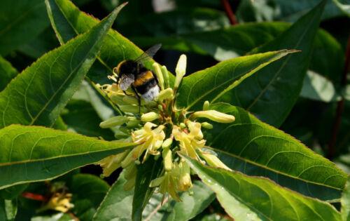 Diervilla sessiliflora /'Butterfly/' Amerikanische Weigelie 60-100 cm im Container