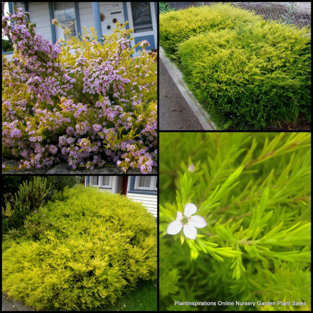 8 gold diosma golden garden plants hedge shrubs coleonema pulchrum aurea flowers - Golden Garden
