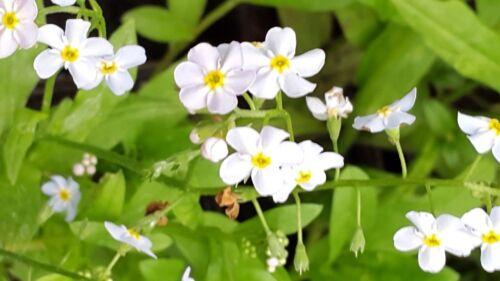 Le bleu collection-Marginal étang Plantes D/'eau-Faune et Bee Friendly!
