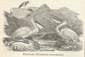 Adaptable C2023 Pelecanus Onocrotalus - Xilografia D'epoca - 1920 Old Engraving