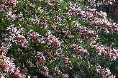 Abelia Chinensis sent in 9cm pot