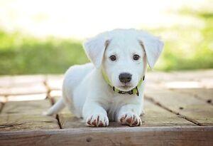 Cute White Labrador Puppy Animal Poster Dog Photo Dog Print Wall Art Ebay