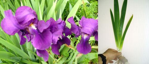 PLANTA DE ESTANQUE.Iris germanica.LIRIO MORADO