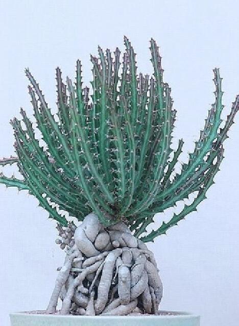 Sinningia Tubiflora rare succulent exotic caudex african violet seed 20 SEEDS