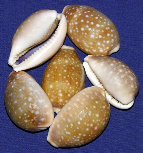"Cypraea Vitellus Deer Cowry Shells 1-1//2/""-2/""~ Craft Seashells~ 3 Shells"