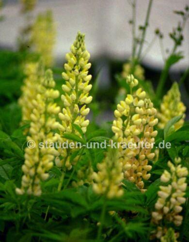 """Pflanze im 9x9cmTopf Gelbe Garten-Lupine Lupinus x /""""Kronleuchter/"""""""