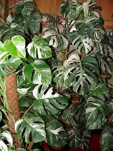 Monstera-variegata-Ableger