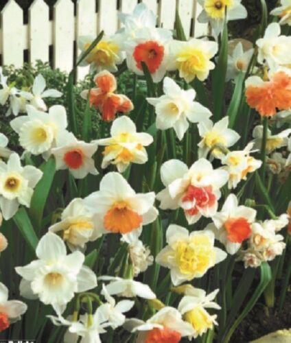 """5 Yellow White Daffodil Bulbs /""""Delight/"""" Spring Flower Bulb Garden Flowers 60-5"""
