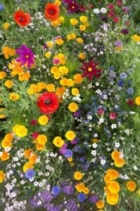 JustSeed-Bee-Friendly-Annual-and-First-Year-Flowering-Mixture-1g-Seeds