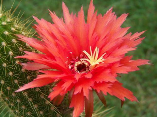 Samen Seeds Trichocereus Hybriden MIX  von über 200 verschiedenen Sorten Zucht