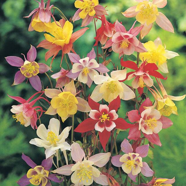 Columbine Mckana S Giant Mix Perennial Flower 140 Seeds Groco