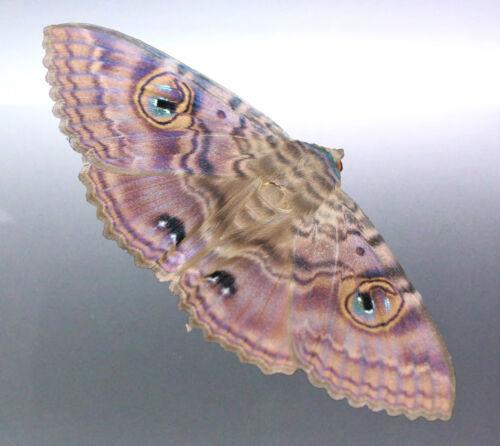 Granny Cloak Moth eyes butterfly Rare Massive Moth Premium sticker Australian