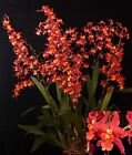 ONCIDIUM PACIFIC PANACHE 'FIRESIDE FEVER' ORCHID NEAR BLOOMING SIZE IN 3