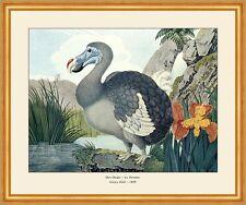 Der Dodo Kapuzentragender Nachtvogel flugunfähig ausgestorben Zötl A2 21