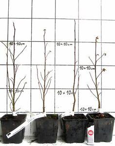 Liquidambar-styraciflua-Amberbaum-Pflanze