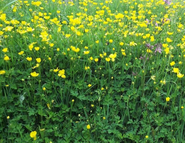 British Wild Flower - Ranunculus repens - Creeping Buttercup - 400 Seed