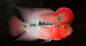 Details about BABY Red Dragon Flowerhorn Cichlid FRY Live Freshwater  Aquarium Fish