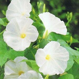 Pearly gates morning glory100 seedslarge 4 6 white flowers12 image is loading pearly gates morning glory 100 seeds large 4 mightylinksfo