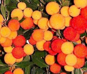 Erdbeerbaum-Samen-exotische-grosse-Pflanzen-fuer-drinnen-Exot-Zimmerpflanze-essbar