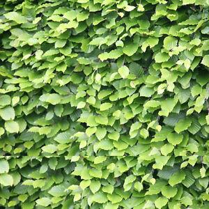 75-x-Beech-Hedging-Trees-Sapling-Seedling-Garden-Hedge-30-50cm-Fagus-sylvatica