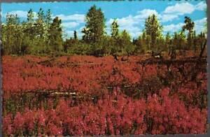 qnh-Flower-Postcard-Fireweed