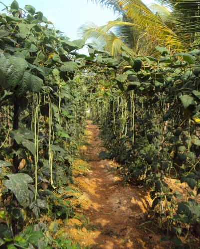 20 Graines Vigna unguiculata sesquipedalis Yard Long Beans Chinese bean seeds