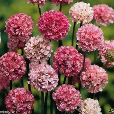 Armeria Maritima Joystick-Lilac Shades,Large Clusters Of Lilac Flower- Perennial