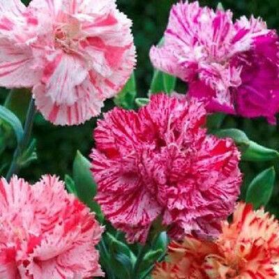 50 Carnation Seeds Chabaud Picotee Mix Flower Seeds Flower Seeds