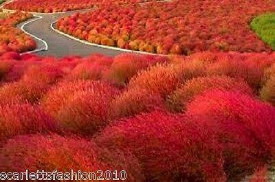 2000 Grass Burning Bush Seeds Kochia Scoparia Flame Red Flower Plant ornamental