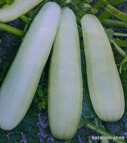 Zucchini Bianca Di Trieste 10 Seeds Busch-Zucchini Early Mature /& Productive