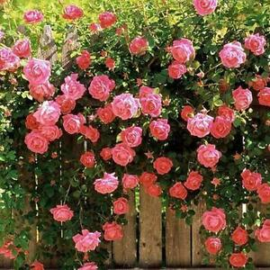 100pcs Rose Red Climbing Rose Seeds Perennial Flower Garden Decor