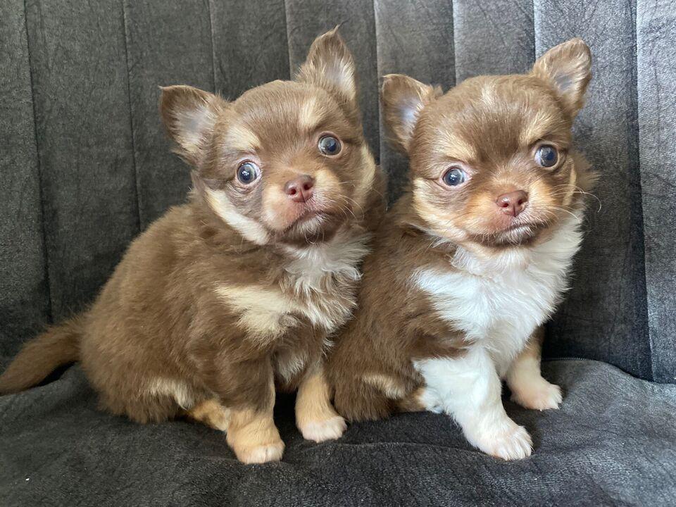 Chihuahua, hund, 7 år