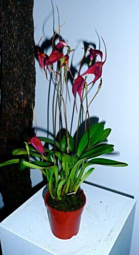 Masdevallia Hybrid Velvet Star Flowering Strong Plant Orchid Orchids Vanda