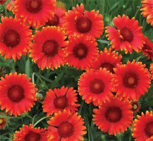1-x-Pflanze-Kokardenblume-Gaillardia-Mesa-Red-Beliebte-Beet-Terrassen-Staude