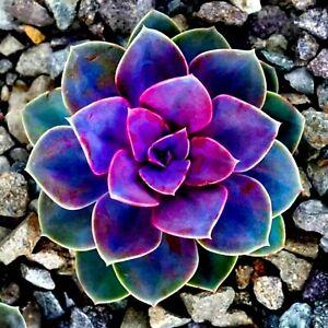 ===SUCCULENT== Living Stones Flower Succulent Cactus Rare Succulent seeds SS0076