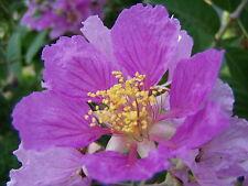 Lagerstroemia floribunda, Weiss-dulce rosa anegaron, 10 semillas, 10 Seeds