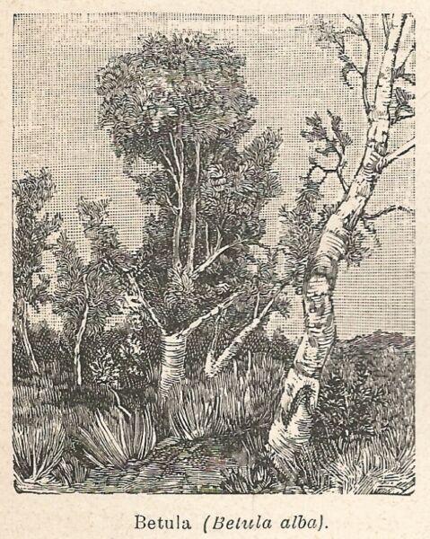 100% Vero A6689 Betula (betula Alba) - Stampa Antica Del 1924 - Xilografia