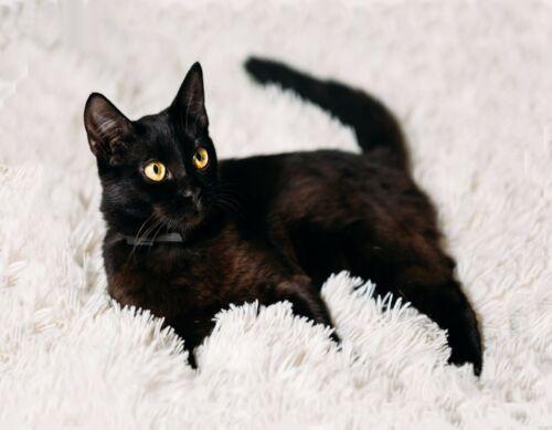 METAL MAGNET Black Cat Yellow Eyes White Rug Cats MAGNET
