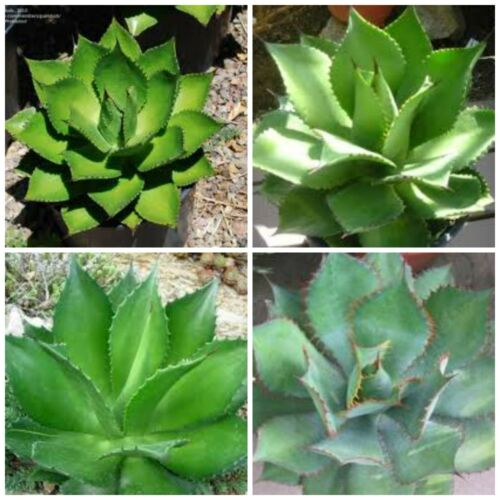 succulents cacti 10 seeds of agave chiapensis succulents seed R