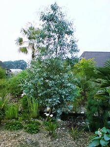 Eucalyptus gunnii, Eukalyptusbaum, 140-150cm, bis -15°