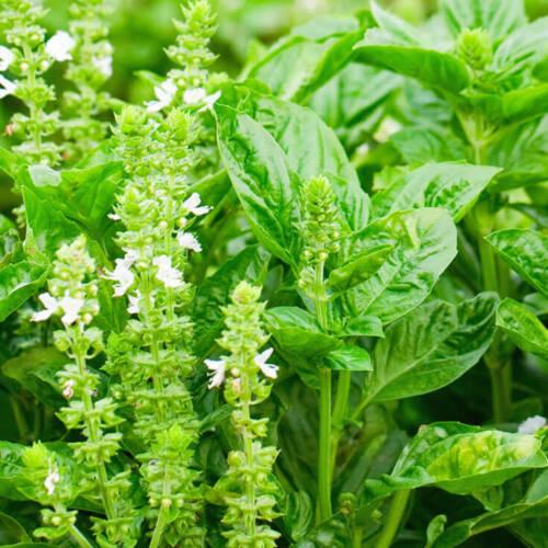 Graines de Basil Citron 100 Ocimum Basilicum Citriodorum Lemon Basil seeds